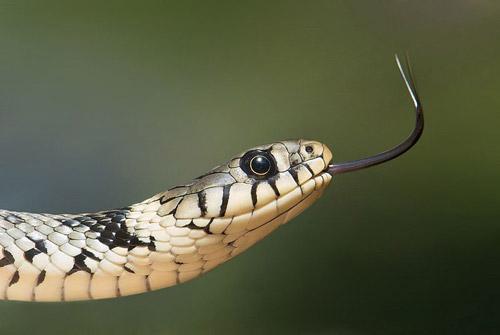 Snakes in Italy: Biscia dal collare, Natrix natrix, European Grass Snake