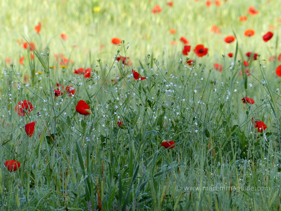 Early morning Tuscany poppies in May