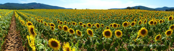 Sunflower fields Tuscany in Maremma