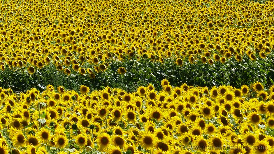 Sunflowers in bloom in Tuscany Italy