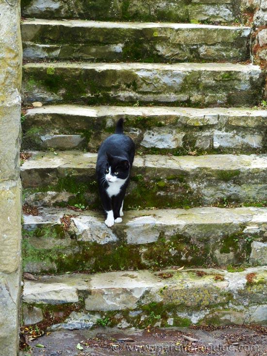 Tuscany cat Silvestro.
