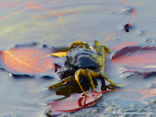 Littoral crab in the shallow waters of Orbetello lagoon, Tuscany