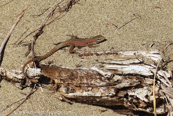 Tuscany lizard on beach.