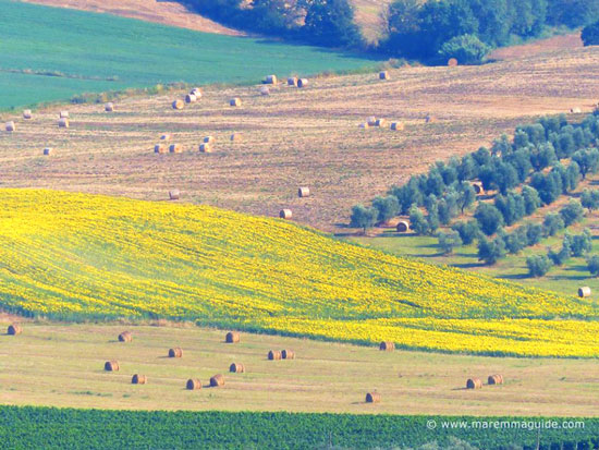 Tuscany sunflower field in Maremma