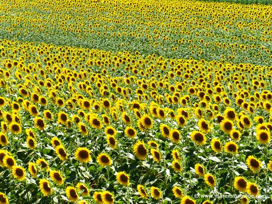 Tuscany sunflower fields in Maremma