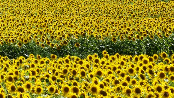 Tuscany sunflowers blooming season from June to September