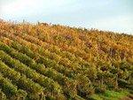 Tuscany vineyards Maremma Italy