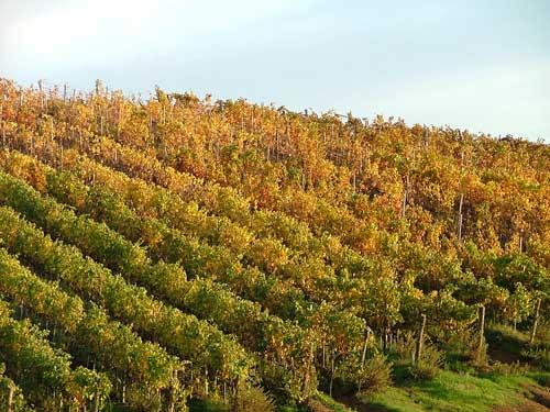 Tuscany Vineyards in Maremma Italy