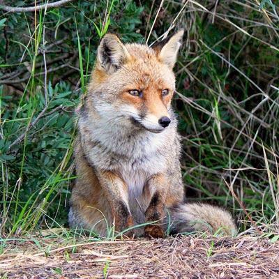 Italy wildlife: Volpe