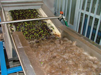 Washing the olives before the cold press extraction