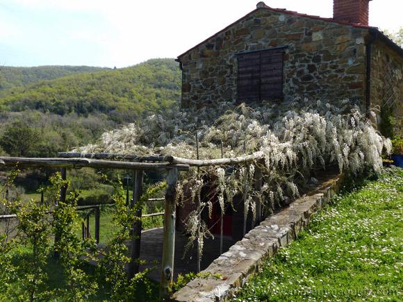 White wisteria in bloom in Tuscany in April