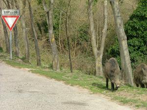 Wild Boar walking along the roadside in Montioni