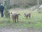 Wild Boars, Maremma, Italy
