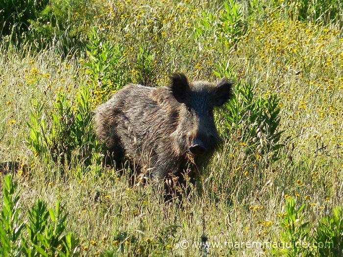 Wild boar facts
