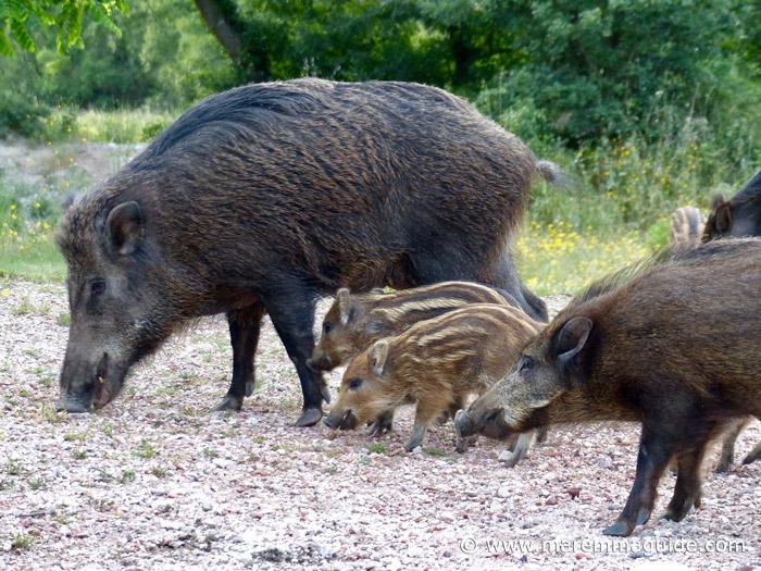 Tuscany wild boar: female wild boar and piglets feeding