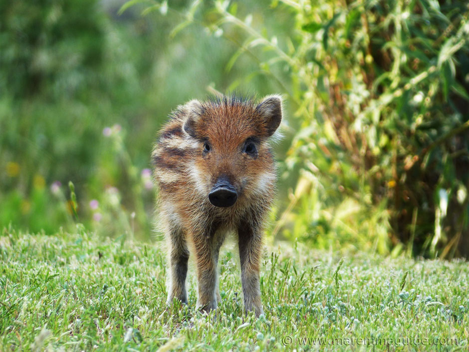 Wildlife in Italy: wild boar piglet born in spring in the Montioni Nature Reserve Tuscany