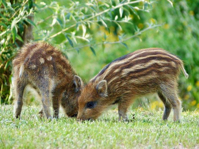 Wild boar facts: wild boar piglets