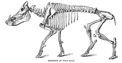 Wild Boar Skeleton