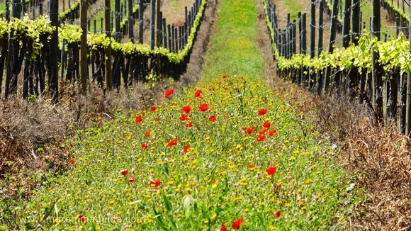 Wild flowers in bloom in Tuscany: poppies in April