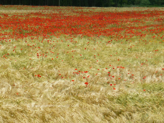 Tuscany poppies end of blooming season May
