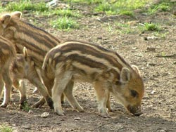 Wild pigs piglets wild boar